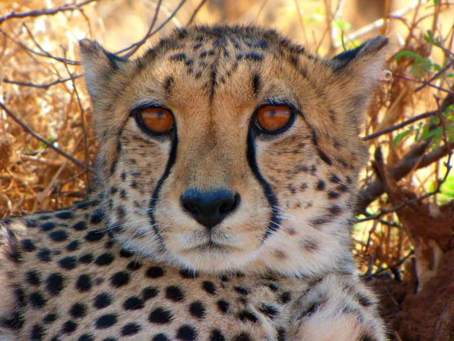 cheetah by msfluffykins