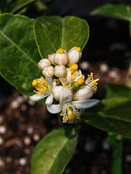 Lime Flowers