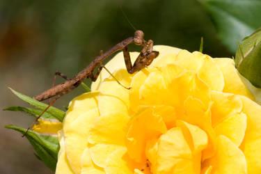 Mantis Eating