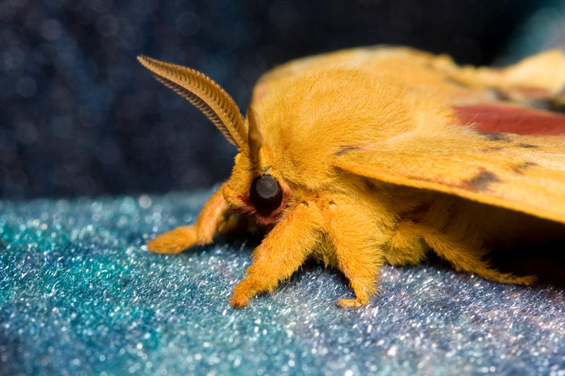 Io Moth 2 by Apophis906