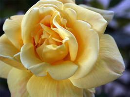 Yellow Petals by cityrose