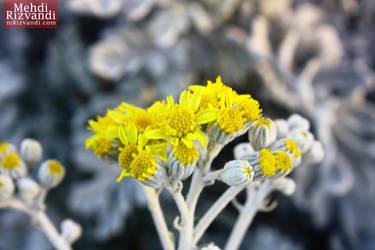 Flowers by mrizvandi