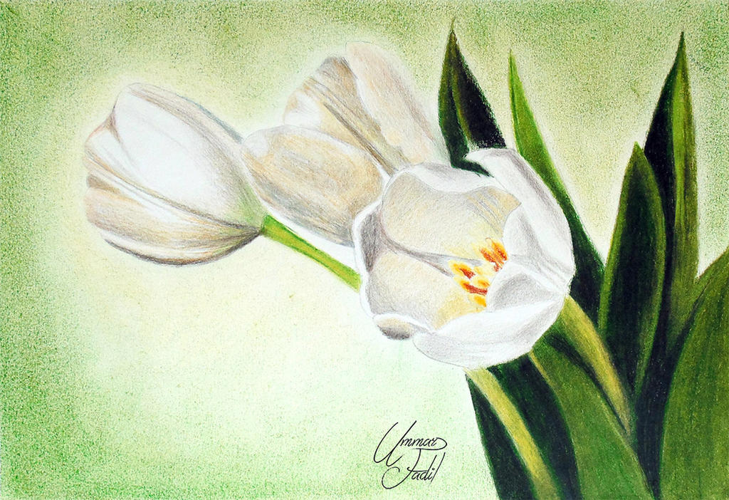 White tulip flowers colored pencils by f a d i l on deviantart white tulip flowers colored pencils by f a d i l mightylinksfo