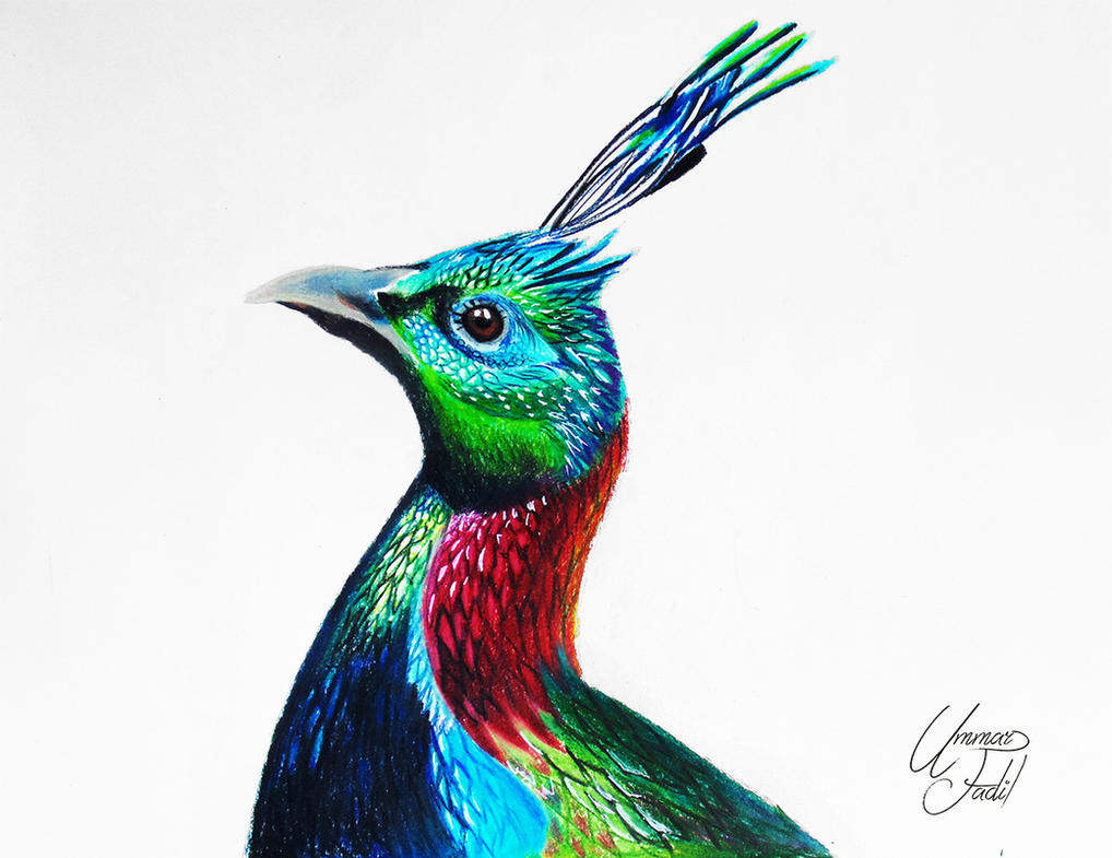 A Himalayan Monal - Colored pencils by f-a-d-i-l