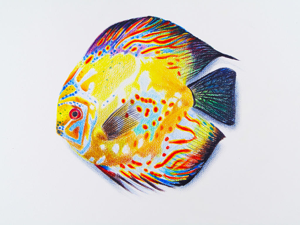 A discus fish faber castell polychromos by f a d i l on deviantart