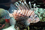 Lion fish 2 by Blue-Sun-Jewelers