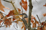 Tufted Titmouse 5 by Blue-Sun-Jewelers