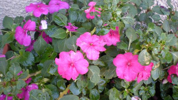 fleurs... by ronburgundi