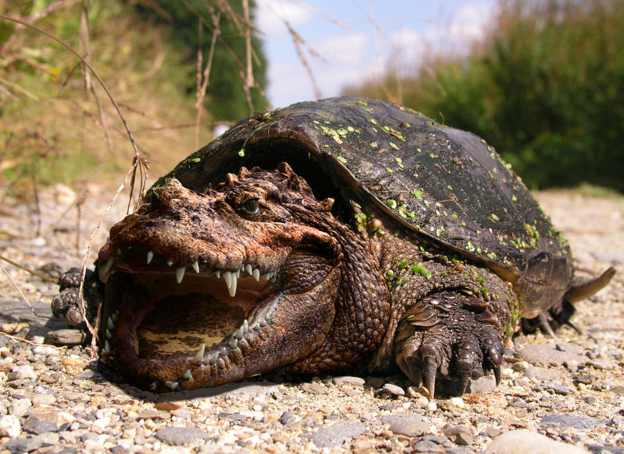 Thumb Bowser in Real Life: Crocodile Snapping Turtle