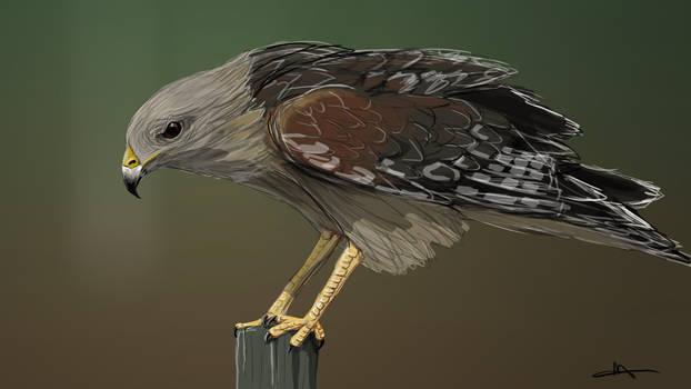 179  - Hawk