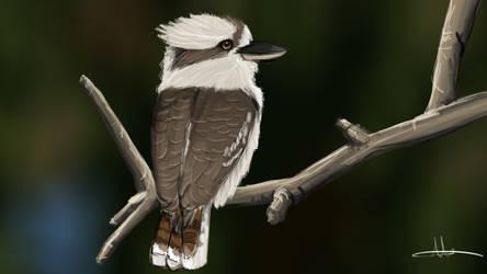 363 - Kookaburra