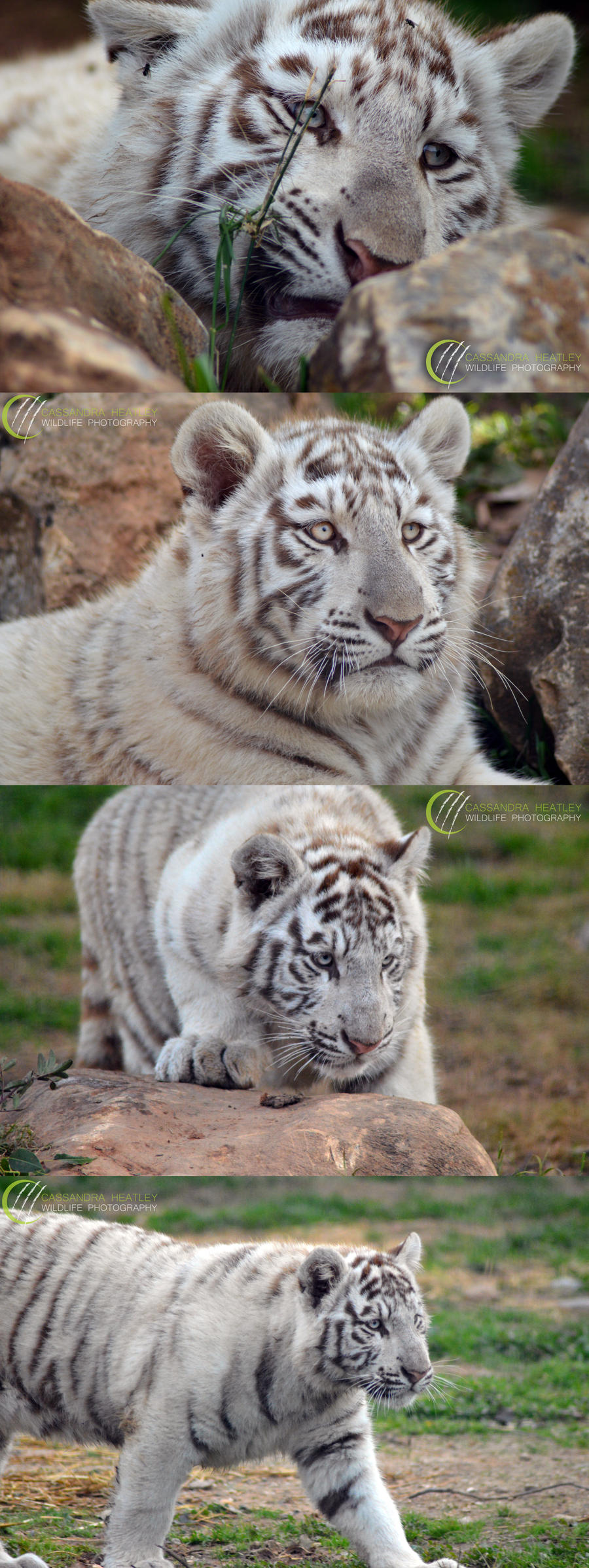 Tiger Cub Series by decolesse