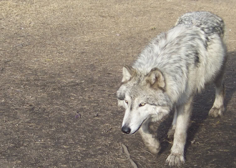 Pin High Content Wolfdogs Wolf Dog Education on Pinterest
