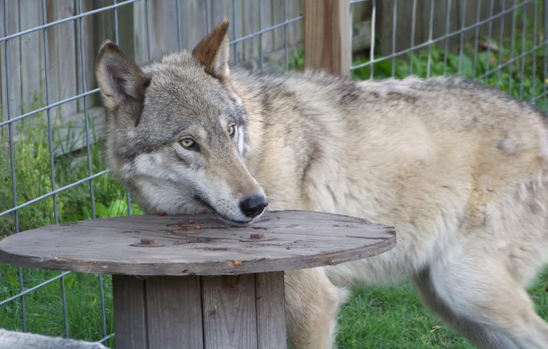 Wolfdog Misrepresentation by WinterJackal on DeviantArt