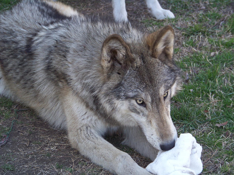 Black Wolf Hybrid Size Are These Pelts Wolf Dog Hybrids By ...