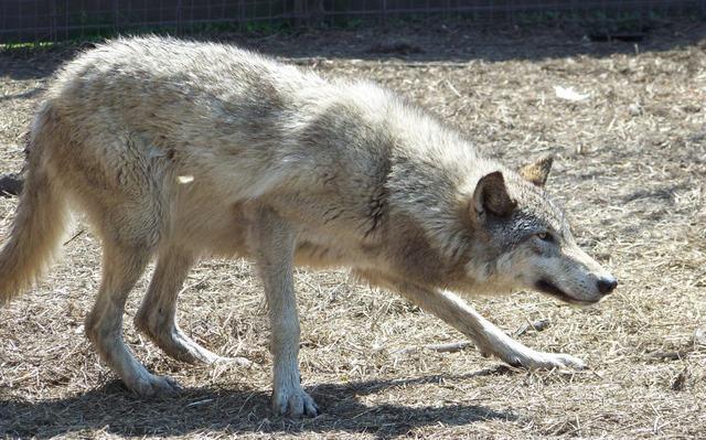High content wolfdog wolf hybrid by cindy23323 on DeviantArt