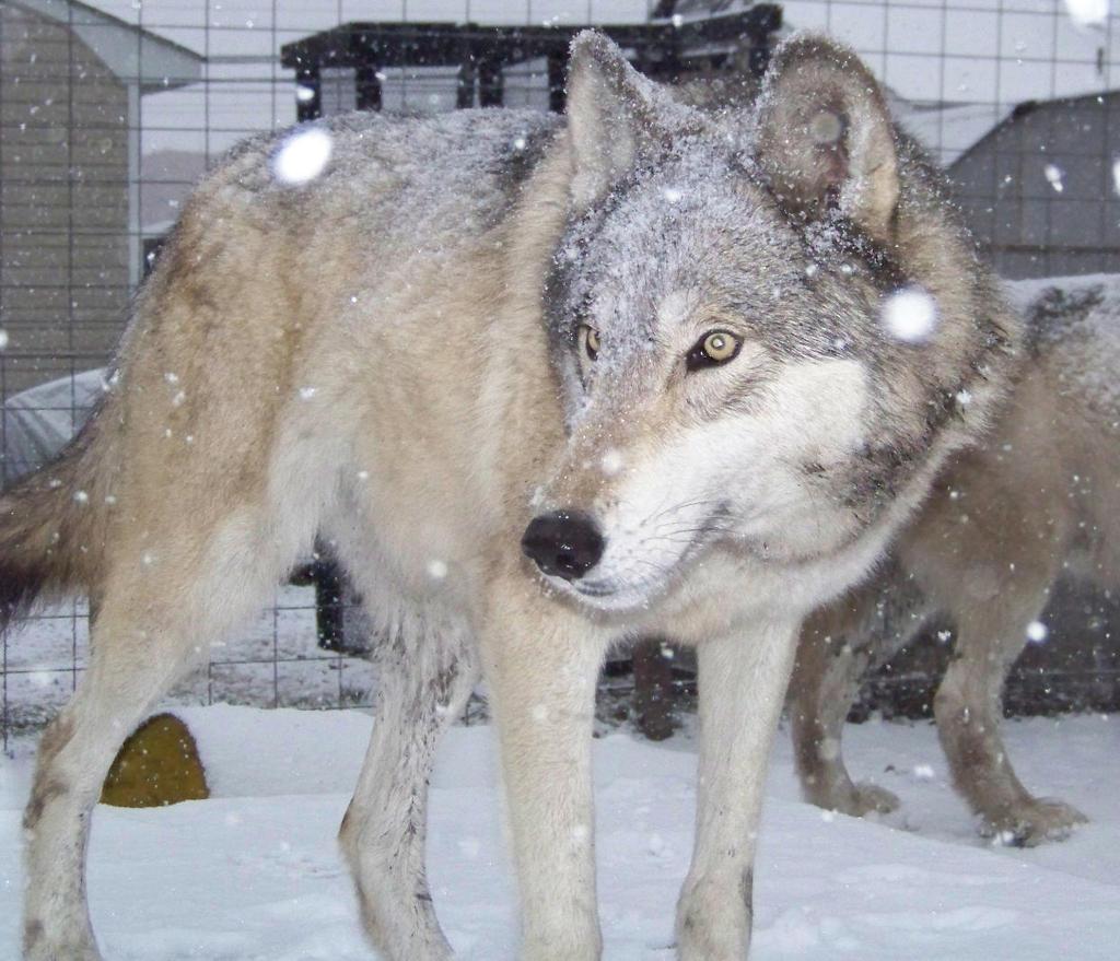 Selene2 A high content wolfdog ( wolf hybrid ) by ...