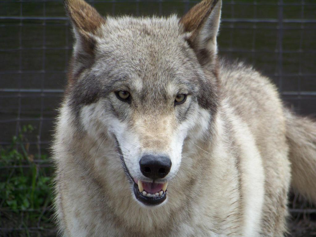 Selene A high content wolfdog ( wolf hybrid ) by ...