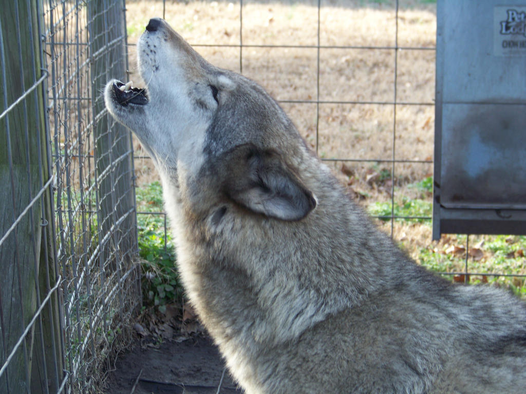 wolf hybrids and wolfdogs in the Wolf dogs needing homes,wolfdog rescue,  wolfdog rescue & adoption:  due to the overwhelming number of wolfdogs needing rescue.