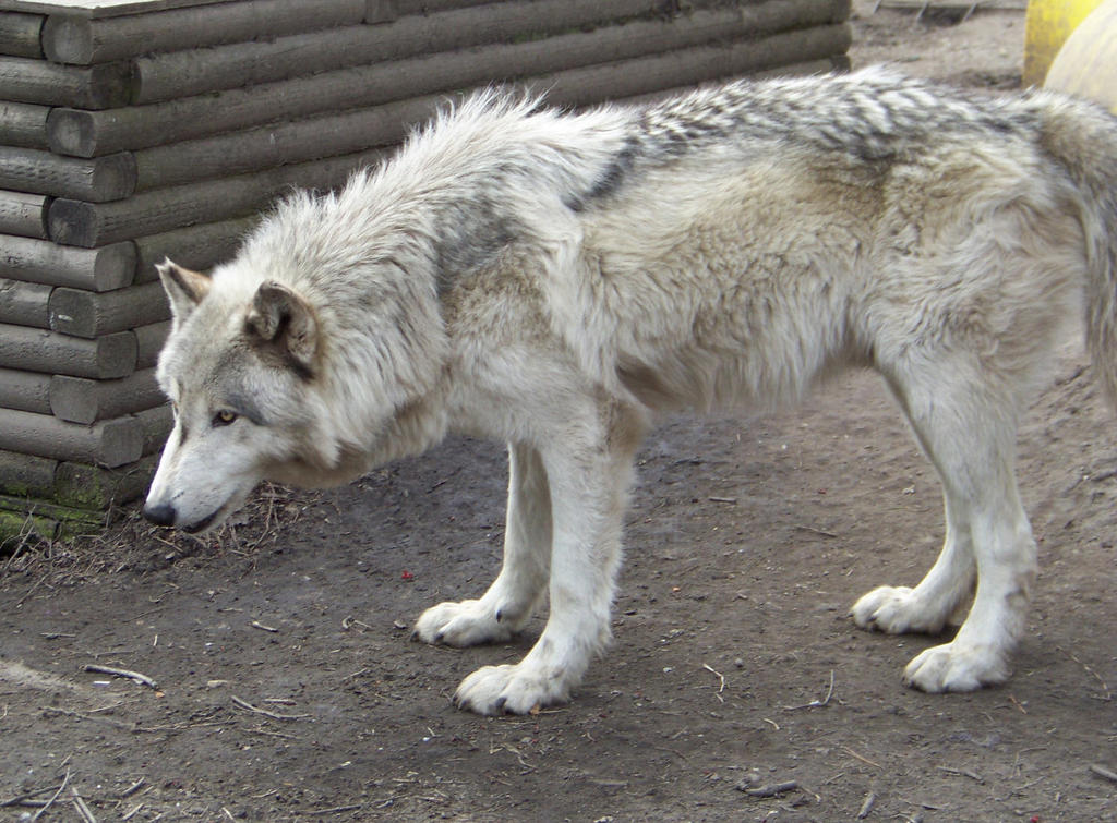 Pin Hybrid-wolf-pictures-images-photos on Pinterest