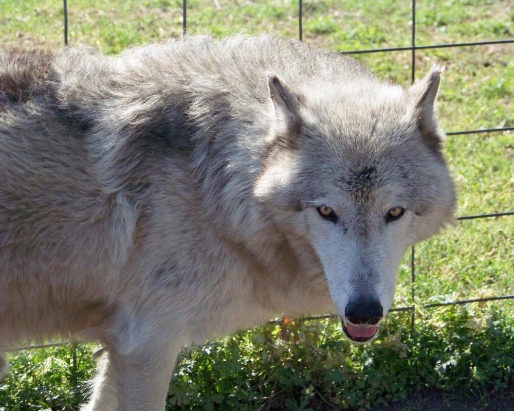Loki high content wolfdog wolf hybrid by cindy23323 on ...