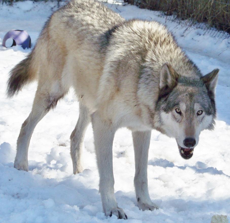 Selene a high content wolfdog aka wolf hybrid by ...