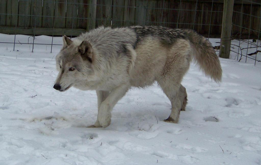 Loki a high content wolfdog aka wolf hybrid by cindy23323 ...