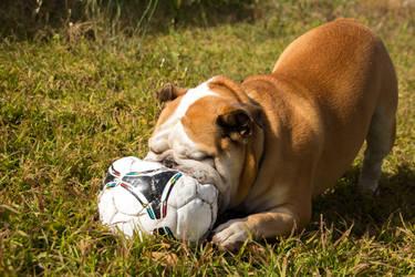Brutus playing in backyard