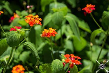 Orange Flowers by Attikus-Star