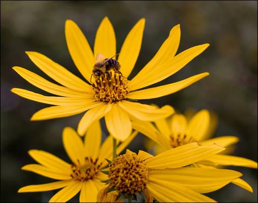 Honeybee On A Wild Sunflower