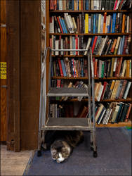 Scout The Bookstore Cat #5