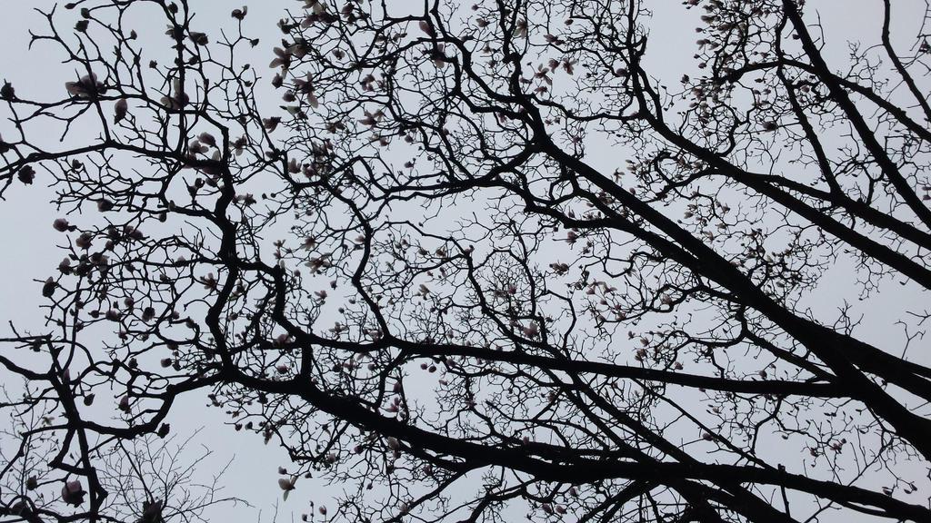 magnolia by solstiziodinverno