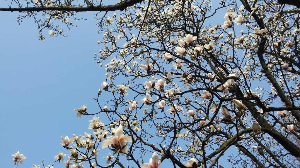 magnolia3 by solstiziodinverno