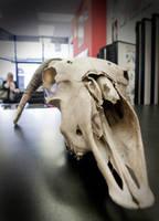 Goat Head II by t-o-n-e