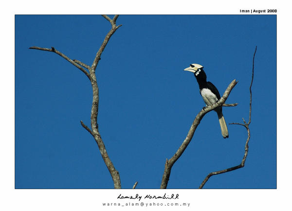 Lonely Hornbill.... by warnaiman