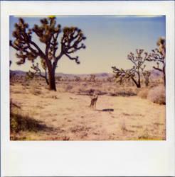 Yoshua tree et coyote by blackscreen