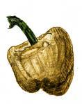 [D41] Yellow Bell Pepper