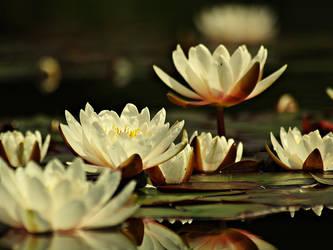 Water lilys by Csipesz