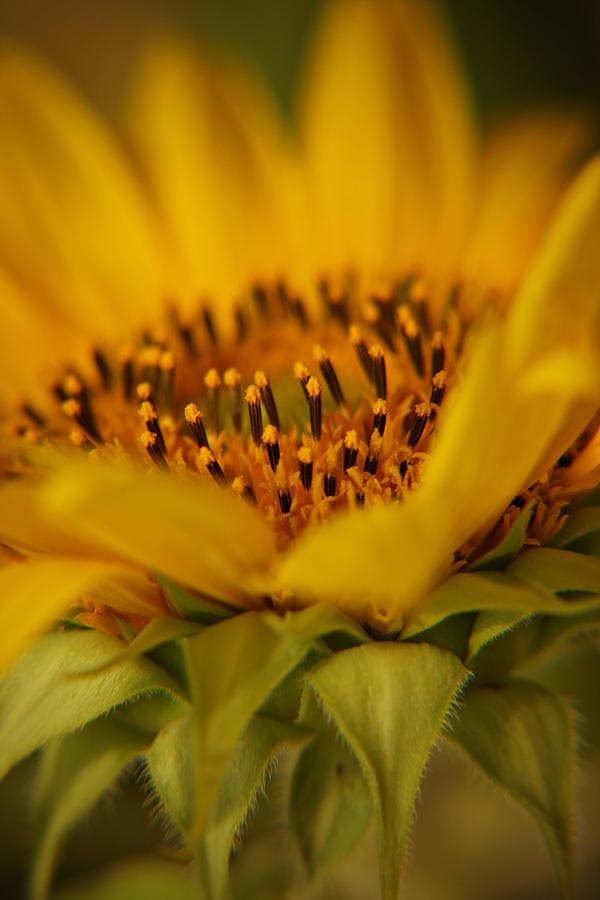 Sunflower 5 by Csipesz