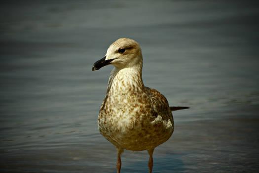 Seagull 5