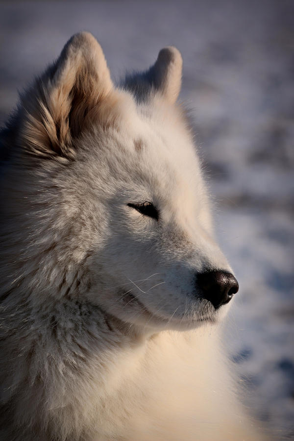 White dog... by Csipesz