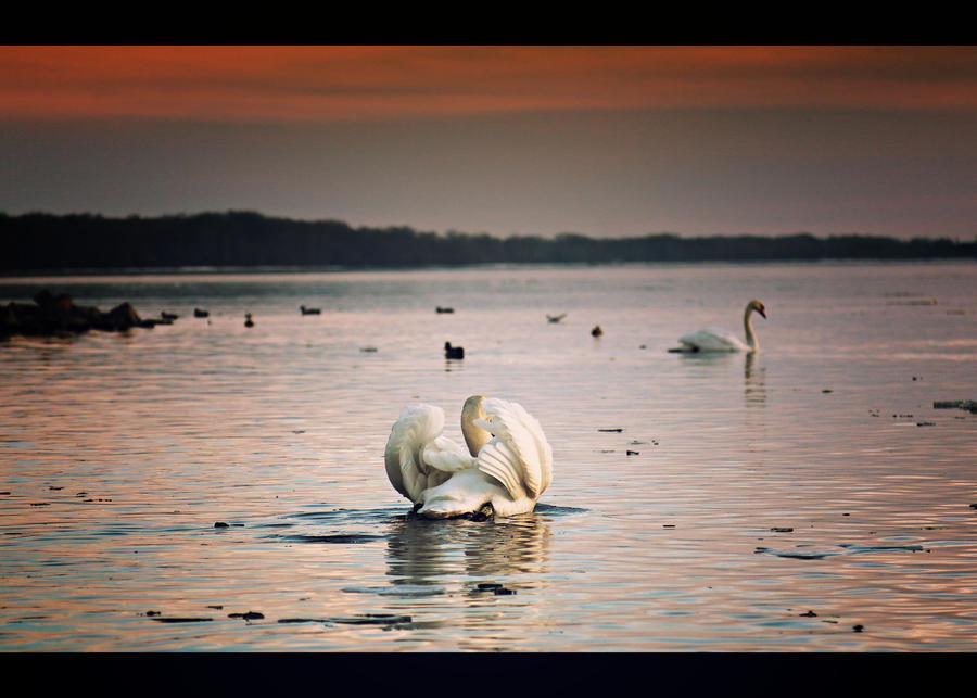 SWAN... by Csipesz