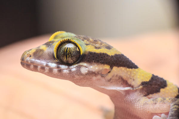 Lizard by AnthonyHearsey