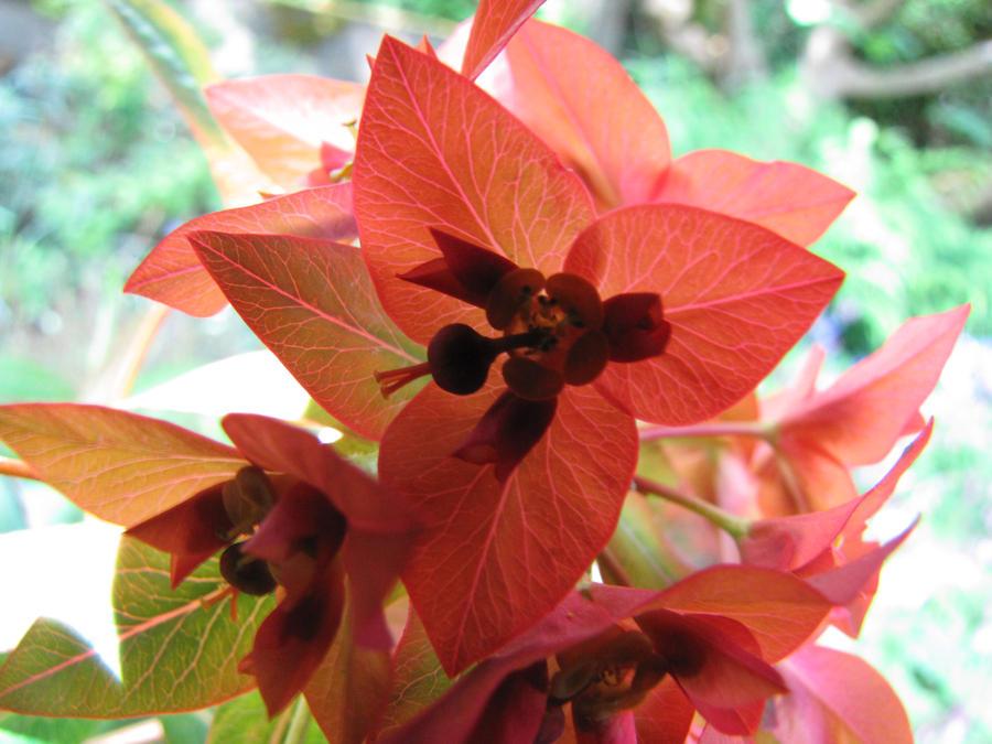 Sun shining through  Euphorbia by Heylormammy