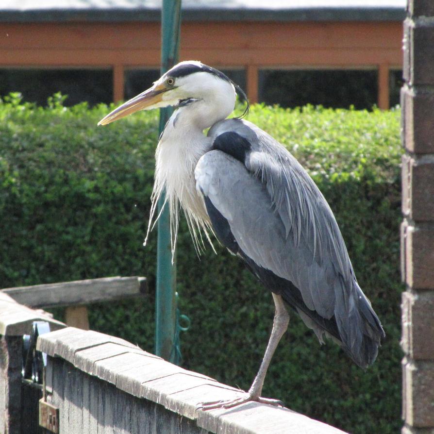 Garden heron by Heylormammy