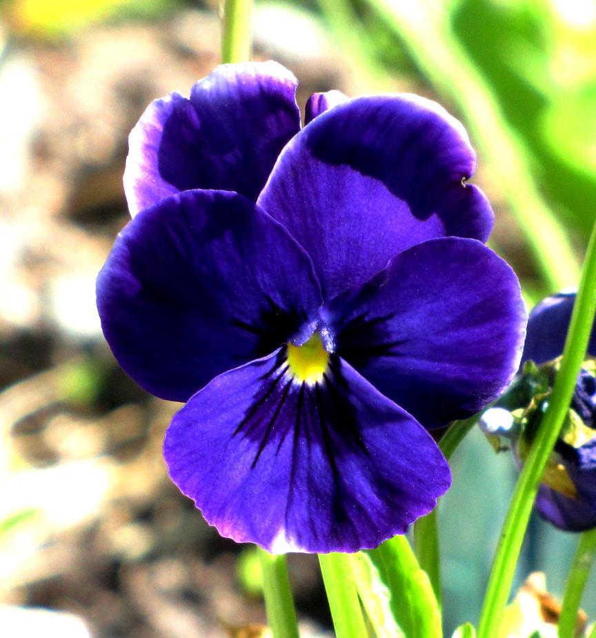 Violet by Heylormammy