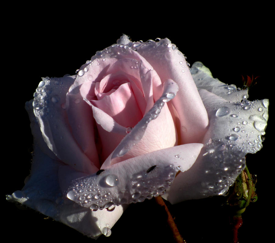 Perfect Rose by Heylormammy