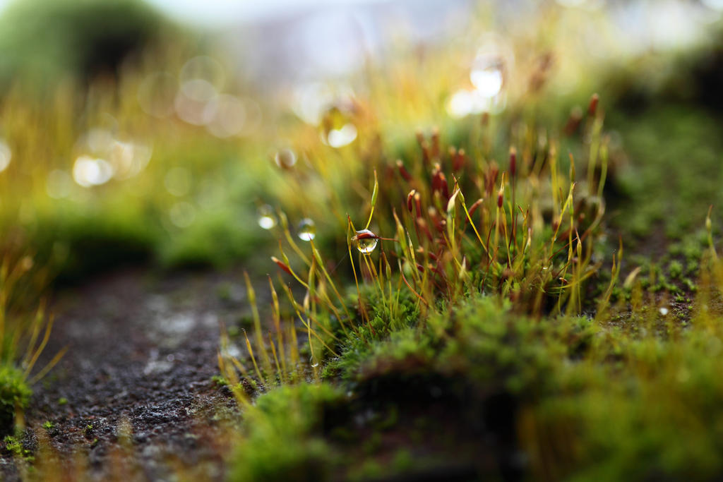 Droplets on moss by petmag
