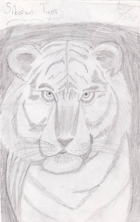 Siberian Tiger sketch by Kiba-Aido