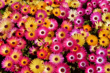Livingston Daisies by otherunicorn